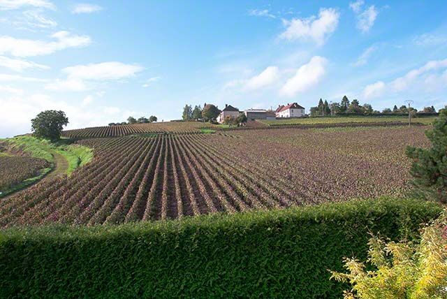 Vineyards in Champagne