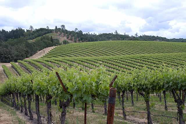 Vineyards on Walling Road