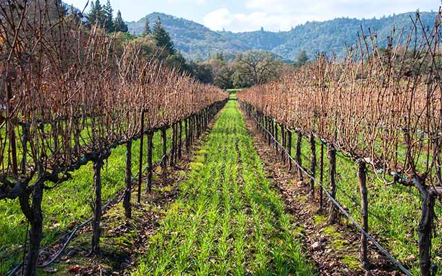 bare vines and cover crops