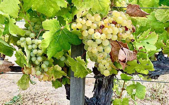 Symphony grape vine at Maple Creek Winery