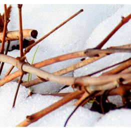 Paolo Scavino Cuttings in Snow