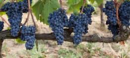 Soldera Vineyard 3