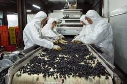 Soldera Berry Sorting