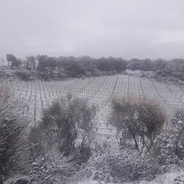 Salicutti Vineyards in Winter