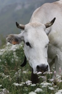 A sweet cow in the mountains near Castelmagno, Piemonte. She and her sisters produce the rare, world famous Castelmagno cheese.