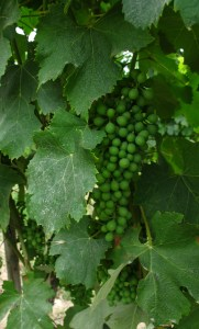 Better late than never! Early July grapes on the vine at Malvira in Roero.
