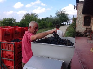 Italo once again dropping bunches of Dolcetto grapes into the crusher.