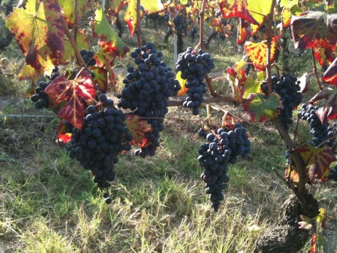 Rio Sordo Dolcetto grapes ready for picking!