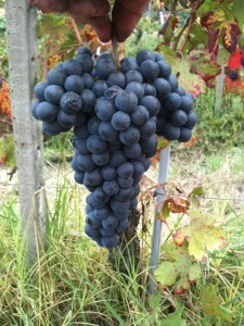 Dolcetto grapes waiting to go home to the cantina