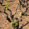Bush vines in Puglia