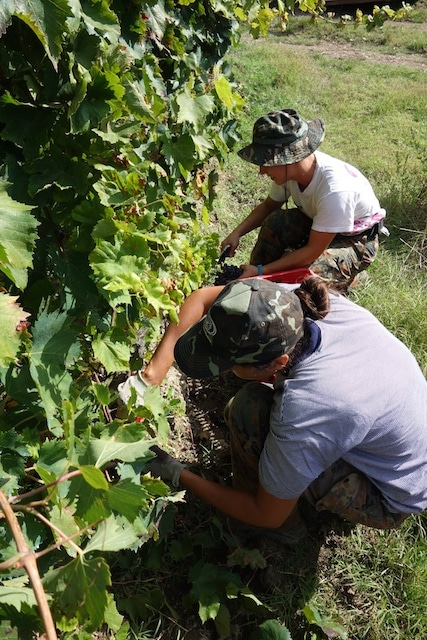 Pick grapes!