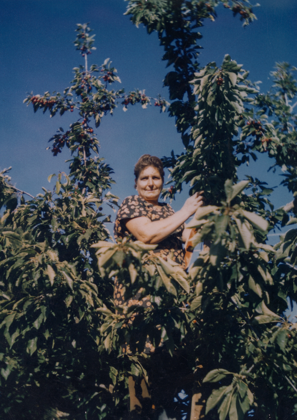 Rina Martinelli in the cherry orchard, 1960