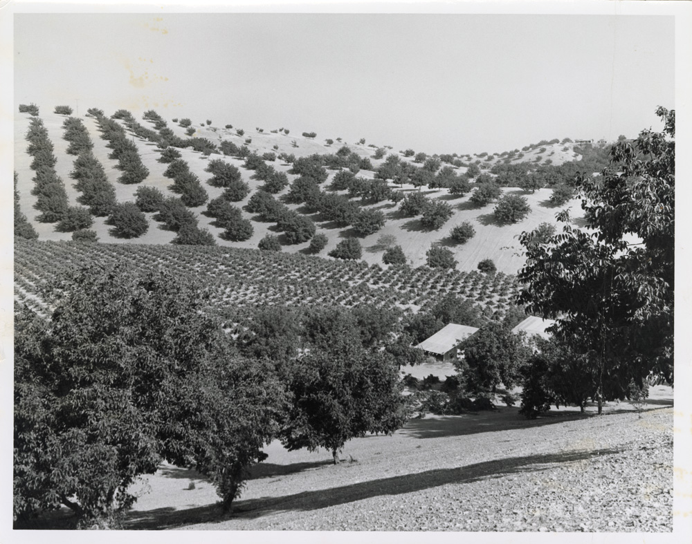 The Casteel Ranch dating to 1912; this photo was taken in 1973. The building on the left is the barn where the wooden lug boxes were store and the barn on the right which had a cement floor is where the wine was made.