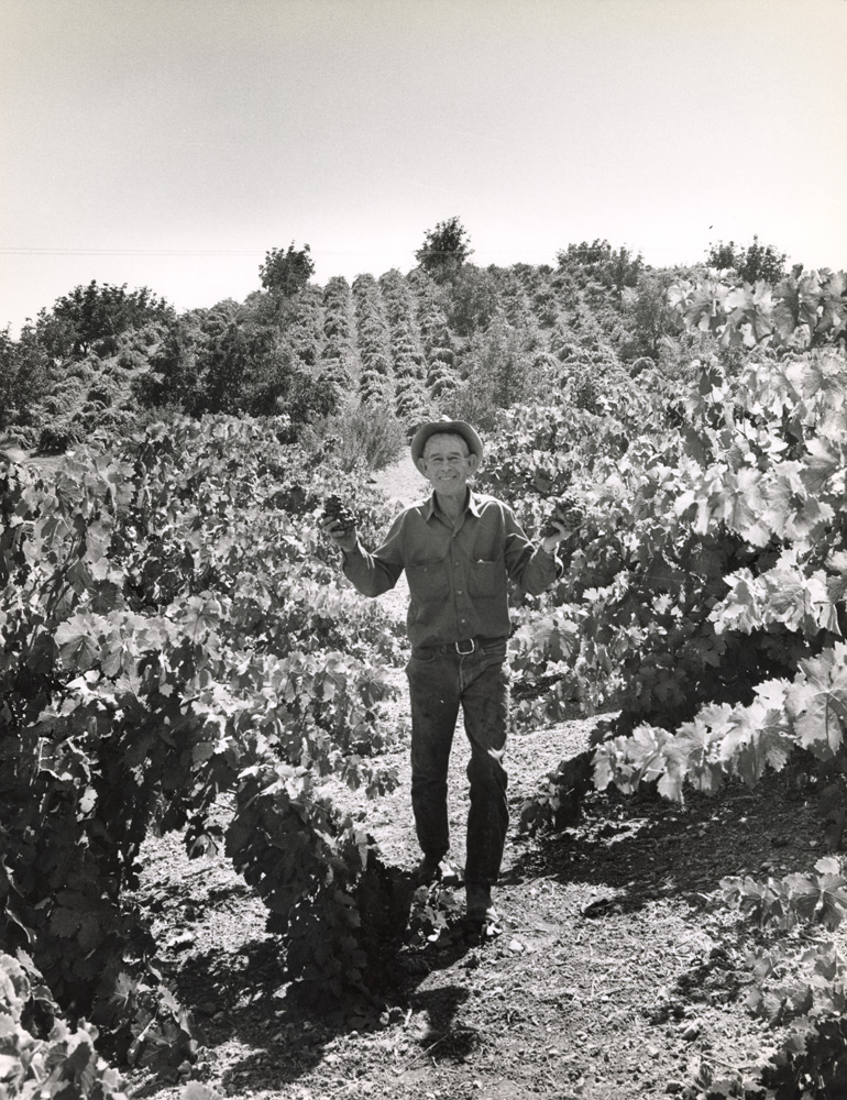 Mel Casteel standing in vineyard, 1973.