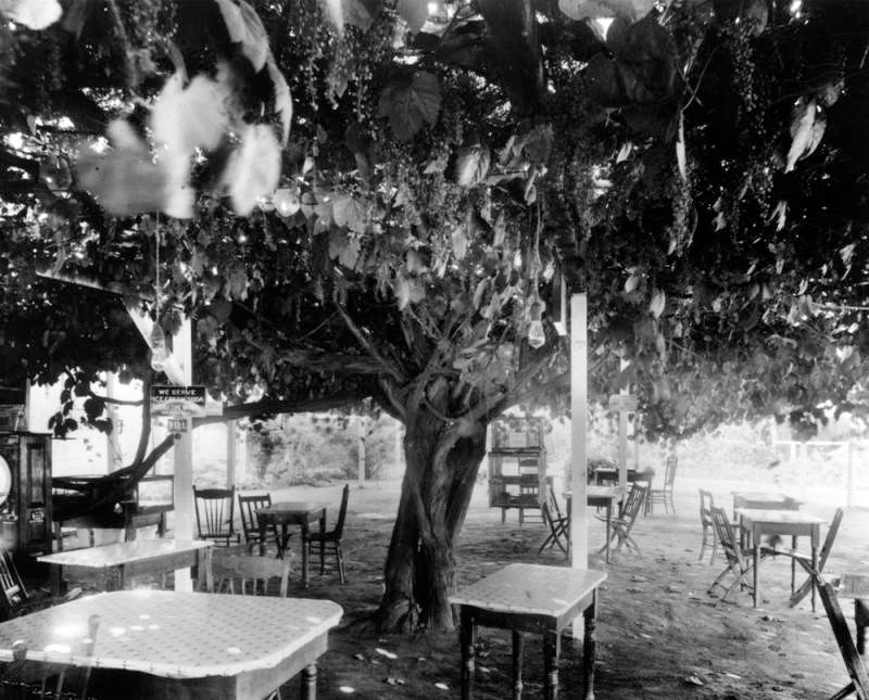 Old grape vine, Mission San Gabriel Arcangel, 1895. Los Angeles Public Library.