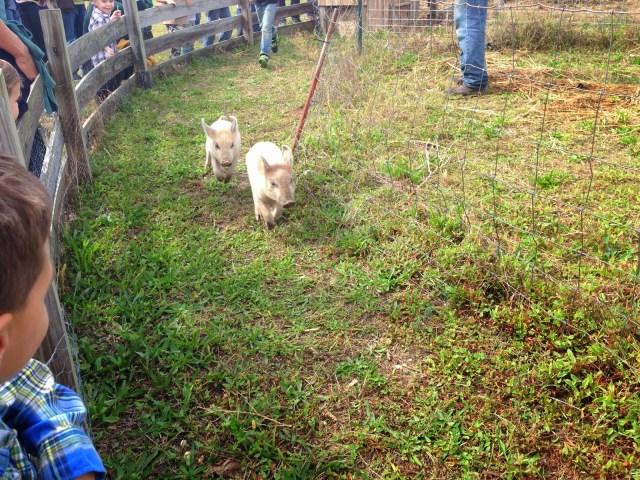 Pig Races Sahl's Father Son Farm