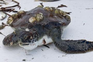 St Simons Island Sea Turtle