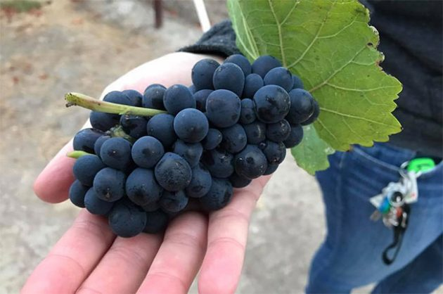 Napa wine harvest gets underway in 'frisky' year