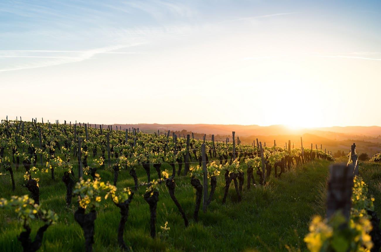 'Unprecedented' French heatwave affects vineyard work