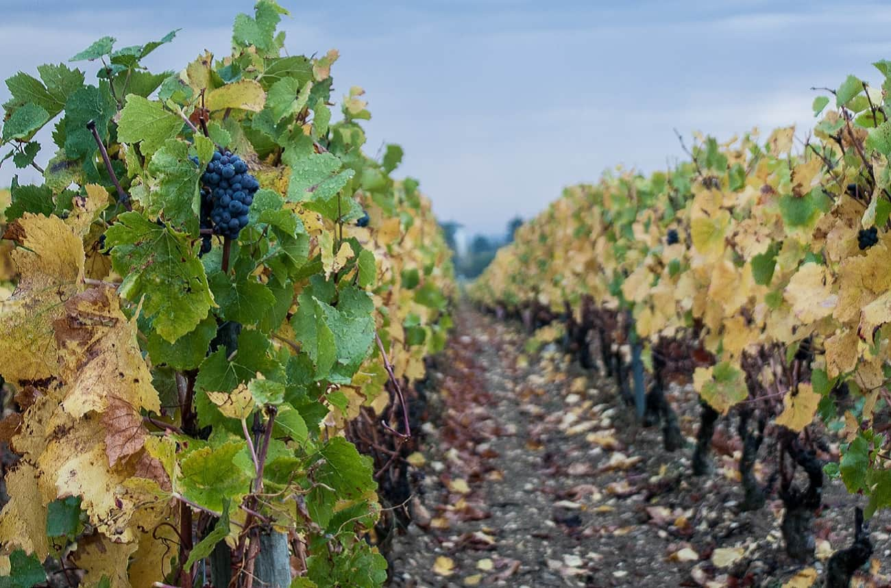 Burgundy vineyards are hottest for nearly 700 years, says study
