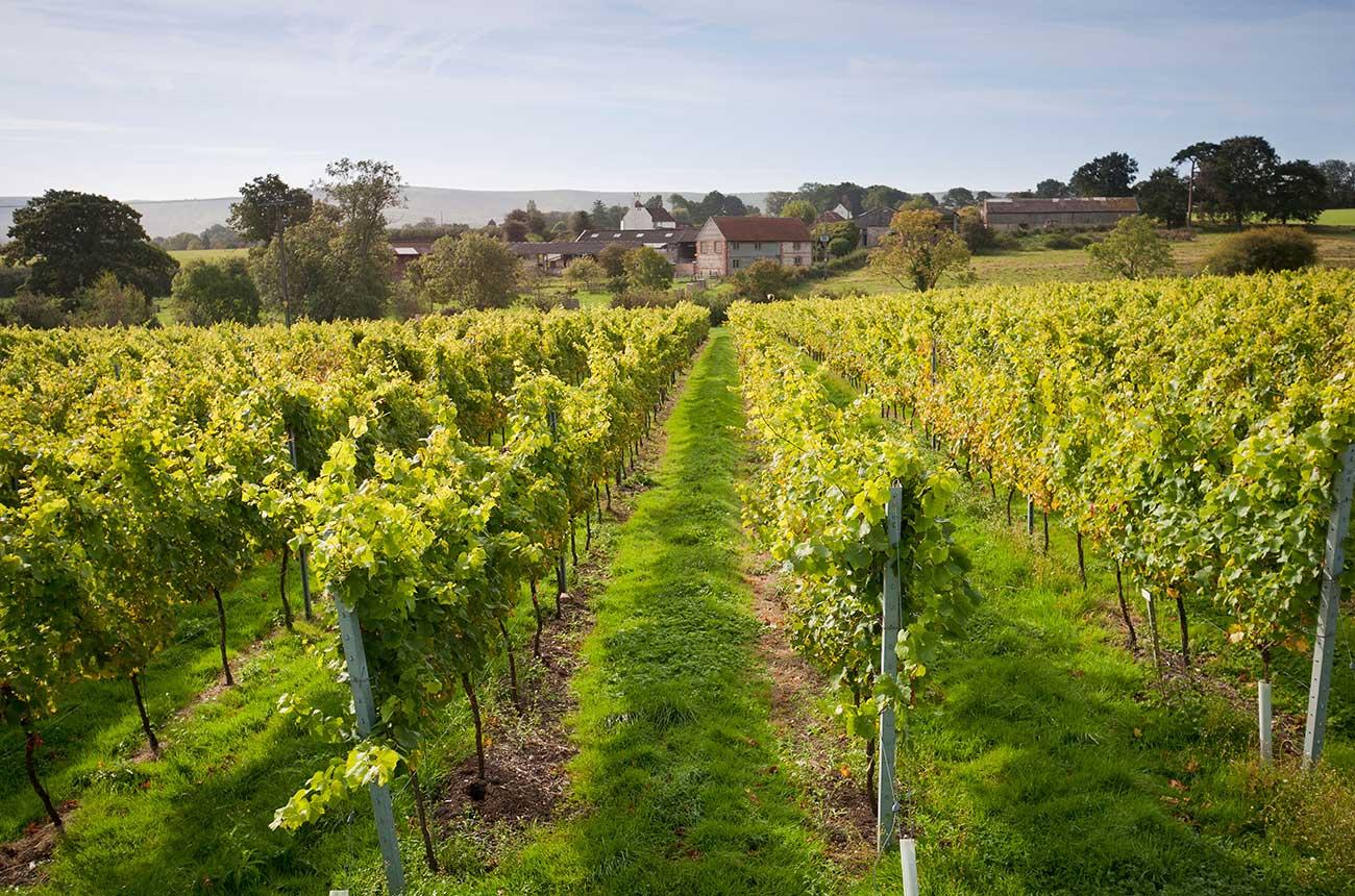 English vineyards reopen for visits post-lockdown