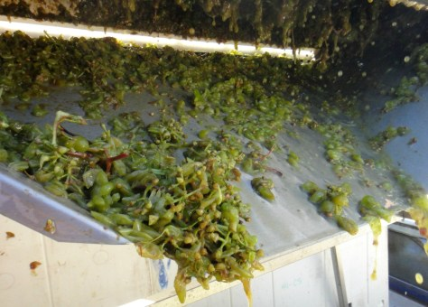 Coming out of the crusher/destemmer and into bins for pressing.