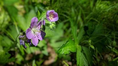 Highland Ridge - Flower