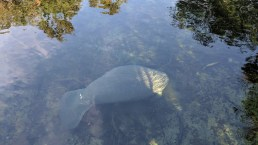 A mid-sized manatee hanging out by the dock chowing down, vacuming along the bottom of the Blue Springs Run water way down from the spring's outlet.