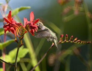Anna's Hummingbird1