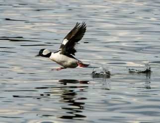 Bufflehead Walks on Water