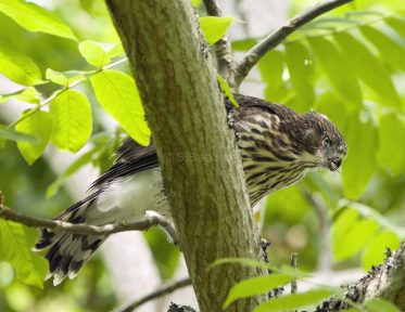 Fledgling Cooper's Hawk Has Lunch