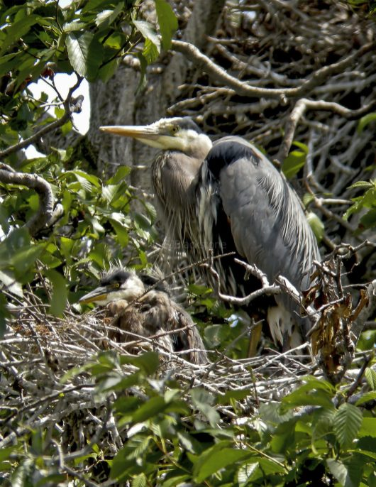 Great Blue Heron and Nestling1