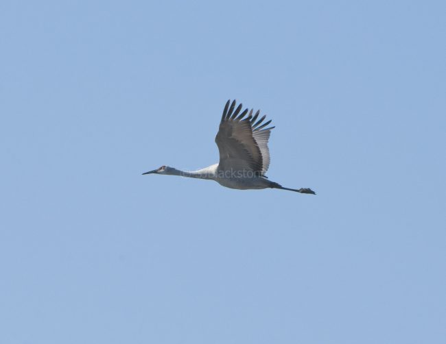 Greater Sandhill Crane in Flight