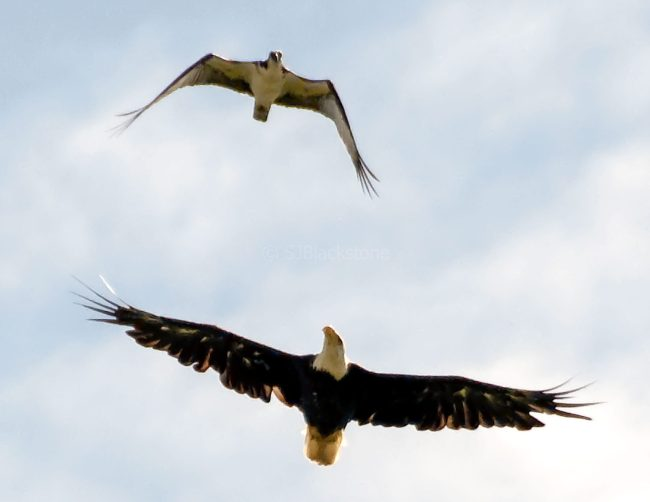 Osprey and Eagle