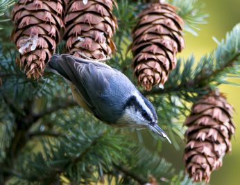 Red-Breasted Nuthatch1