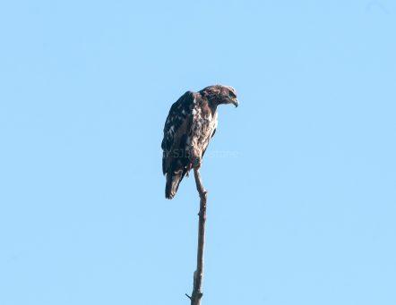 Juvenile Eagle Perched