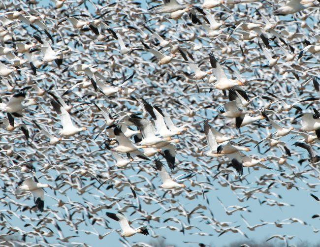 Snow Geese in Flight 2
