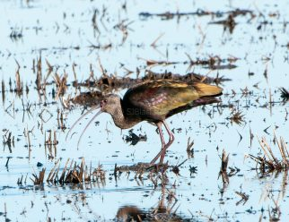 White-Faced Ibis Gets the Worm