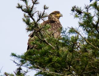 March Bald Eagles4
