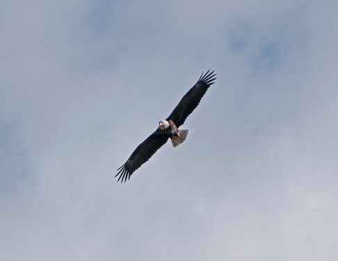 March Bald Eagles8