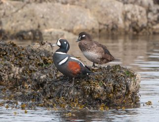 March Harlequin Ducks1