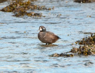 March Harlequin Ducks4