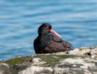 March Oystercatchers7