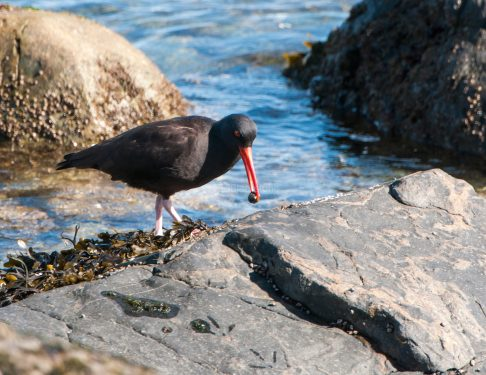 March Oystercatchers11