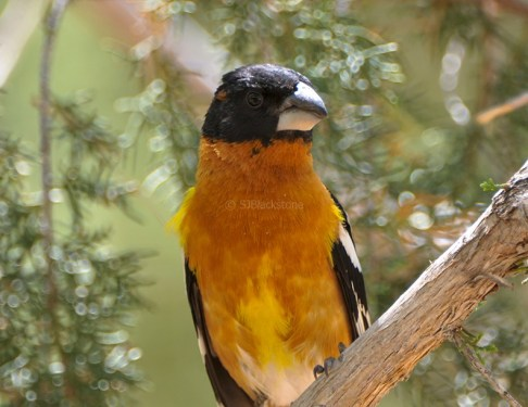Black-headed Grosbeak1