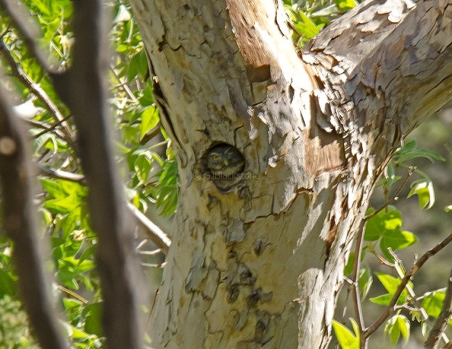 Northern Pygmy Owl in Nest2