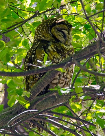 Spotted Owl1