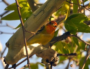 Western Tanager2