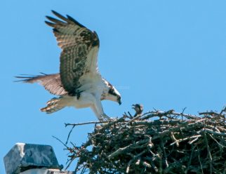 Juvenile UVic Osprey01