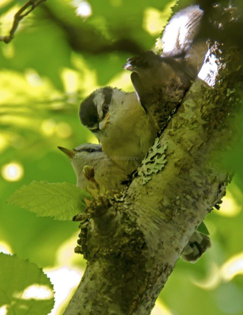 Rose Breasted Nuthatch Chicks08